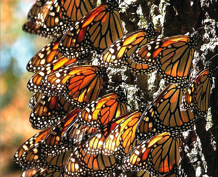 mariposas-monarcas-Michoacan